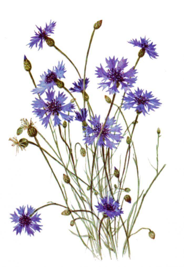 Василька цветок
