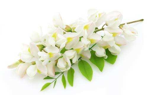 Купить в аптеке цветы белой акации