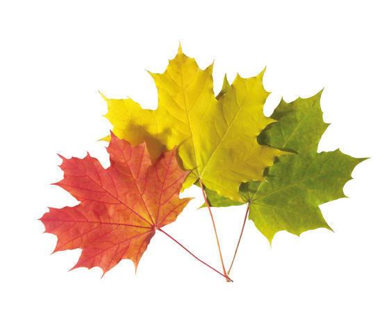 Кленовые листья для суставов