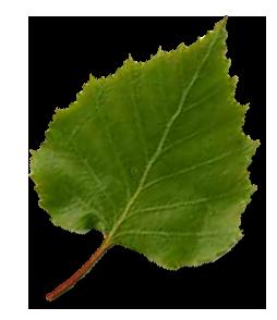 Березовые листья как пить